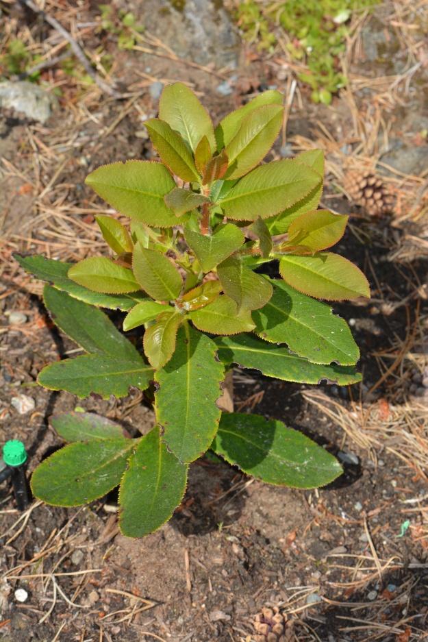 arbutus seedling growth