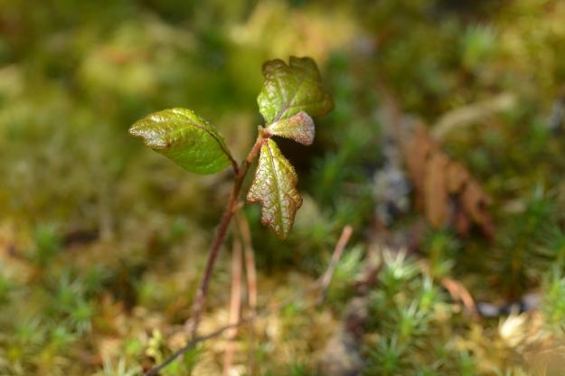 garry oak seedling growing on moss