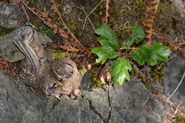 garry oak seedling next to broom stub